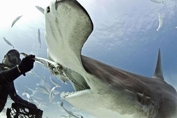 Бесстрашный дайвер кормит акулу-молота