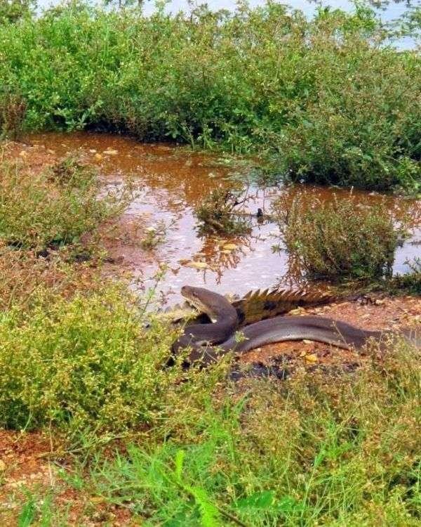 Питон съел крокодила