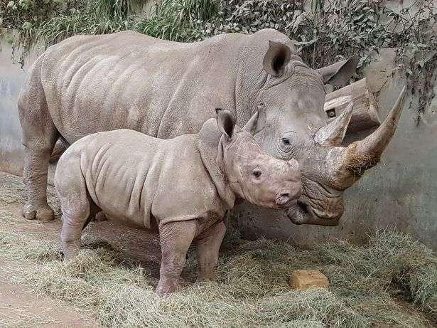 Маленький носорог, выпивающий 33 литра молока в день