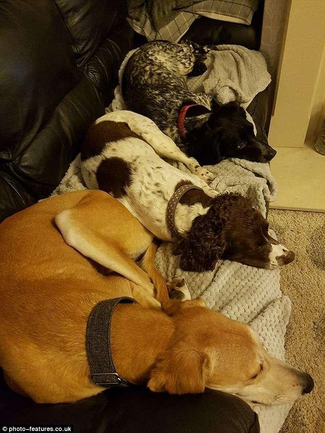 Изможденный охотничий пес Олли за два месяца превратился в красавца