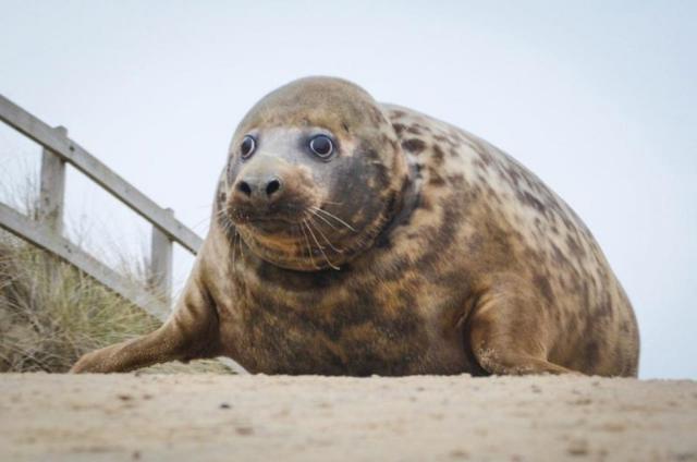 Самка тюленя едва не погибла из-за удушающего кольца на шее
