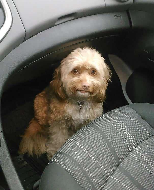 Неподдельные эмоции: 40 собак, узнавших, что их везут к ветеринару-39 фото + 2 гиф-