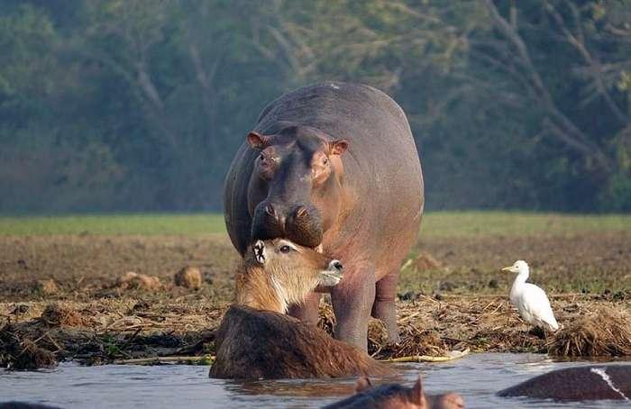 Как бегемот спас водяного козла от крокодила-7 фото-