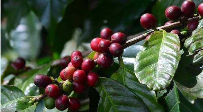 Я большой любитель кофе. Но вот интересные факты о кофе-9 фото-