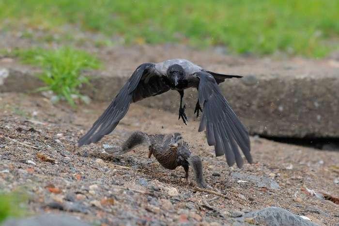Интересные факты про серую ворону-13 фото + 2 видео-
