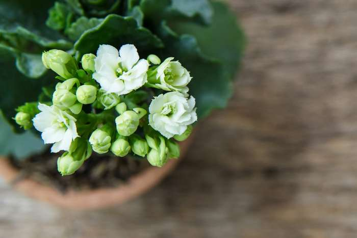 Как заслужить повторное густое цветение у каланхоэ