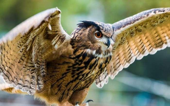 Про птицу филина-11 фото + 2 видео-