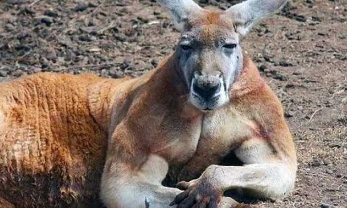 В Австралии кенгуру сломал челюсть 19-летнему охотнику-5 фото-