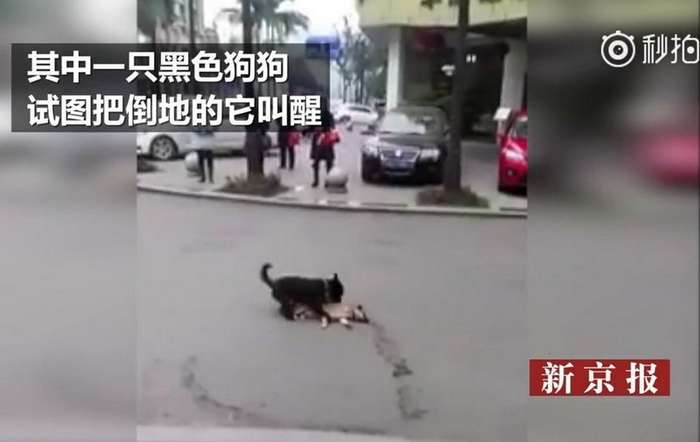 Пёс пытается -разбудить- сбитого машиной товарища-6 фото-