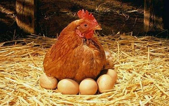 Казалось бы, обычная курица-16 фото + 1 видео-