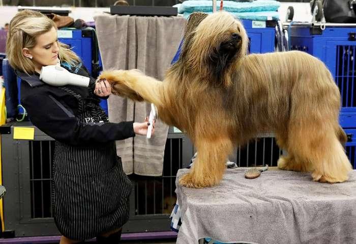 Конкурс собачьей красоты: Westminster Kennel Club 2018