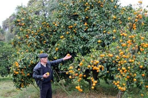 История появление мандарин в Абхазии