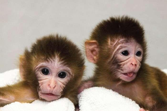 Китайские ученые успешно клонировали обезьяну и заявили, что на очереди - человек