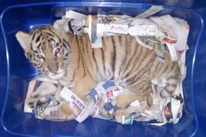 Мексиканец отправил тигренка экспресс-доставкой