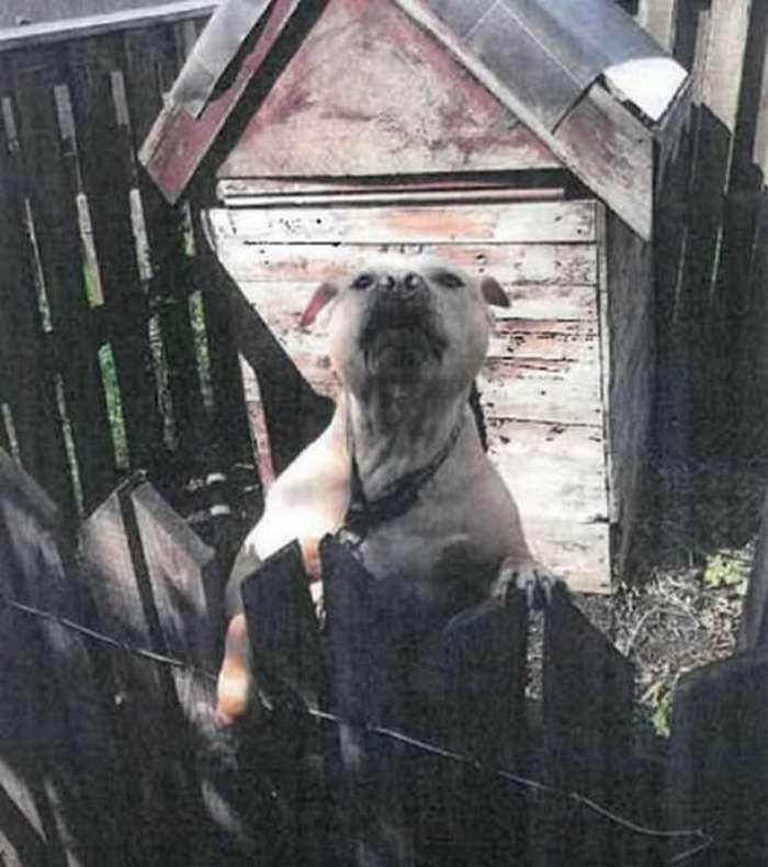 Хозяин питбуля-убийцы соседа сядет в тюрьму на 10 лет