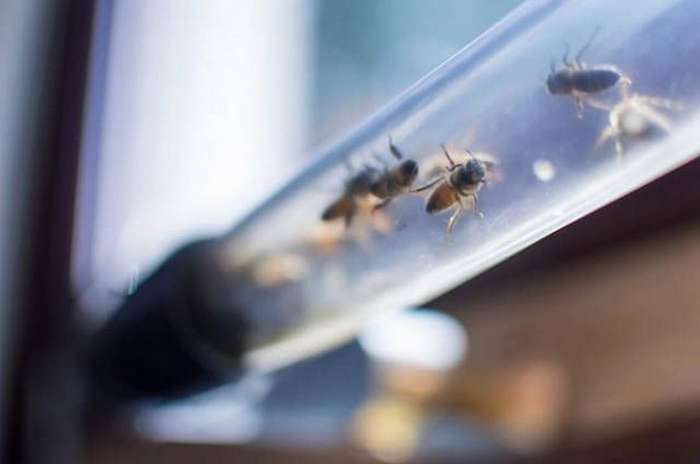 Пчелы: новый тип домашних любимцев