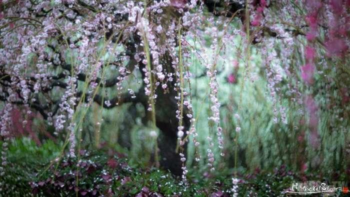 Цветение сливы в Японии