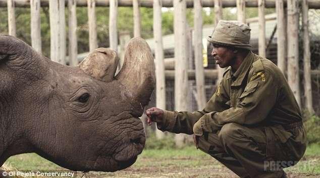 В Кении умер последний в мире белый носорог