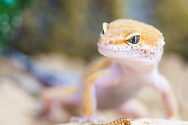 Отрастающий хвост ящериц поможет ученым