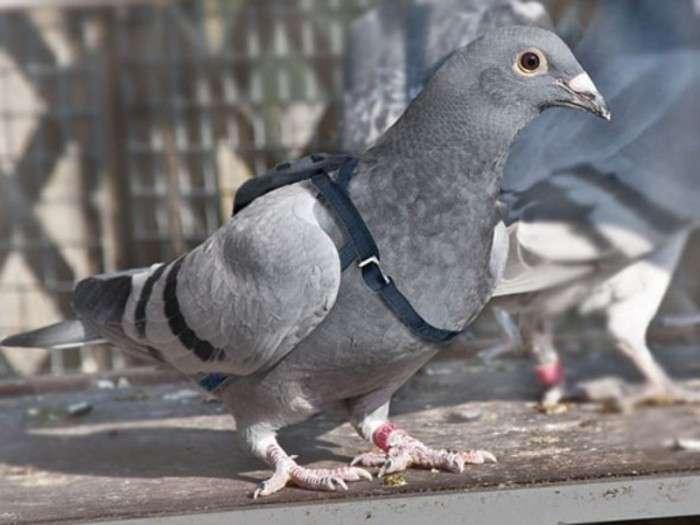 Любопытные факты из истории голубиной почты