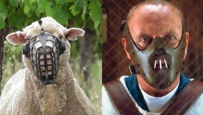 Овцам одели намордники в стиле &171;Молчания ягнят&187;