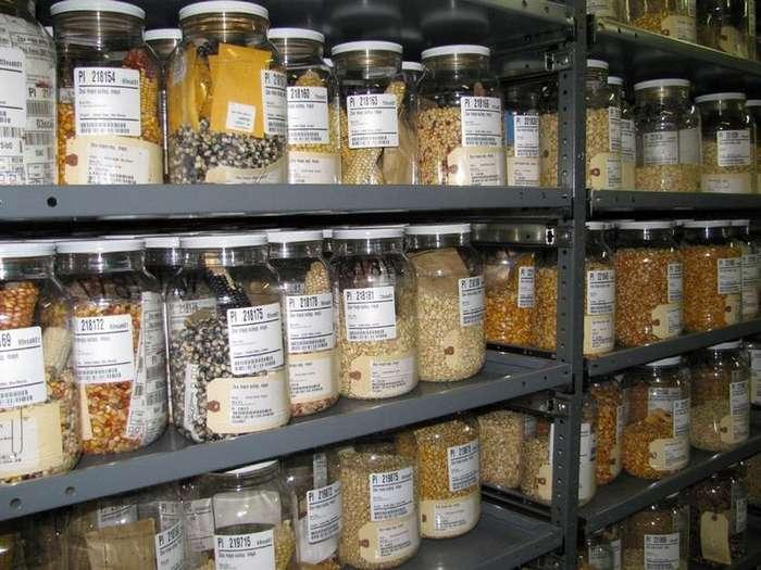 Российскую коллекцию семян Вавилова вывозят в генный банк Ротшильда
