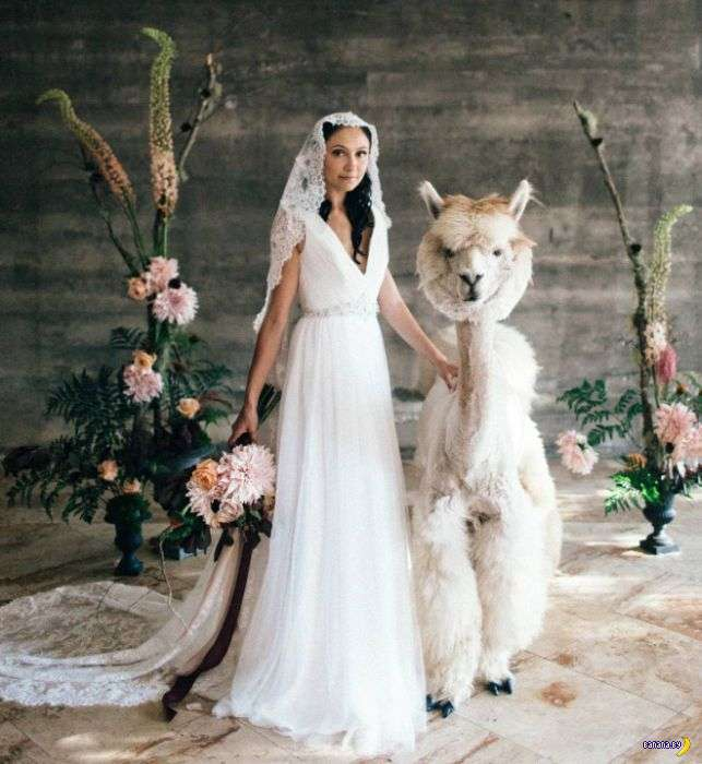 Внезапная свадебная мода –ламы