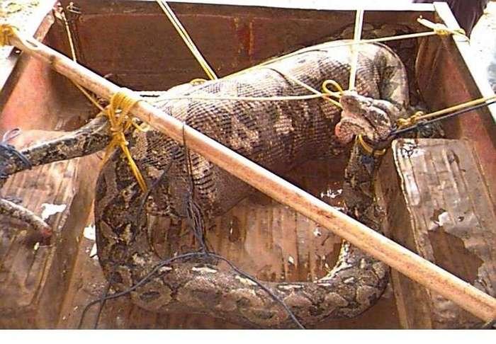 Может ли змея проглотить человека (Впечатлительным не смотреть !)