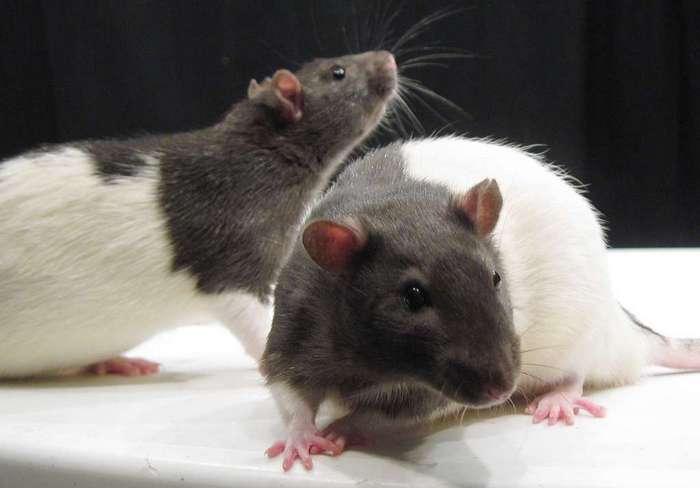 Иерархия у крыс
