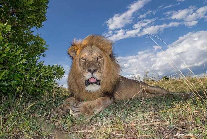 Добыча тигра по размерам аналогична с добычей льва, однако в среднем добыча льва всё-таки немного тяжелее.