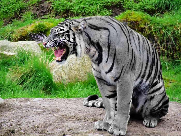 Диво дивное - мальтийский тигр