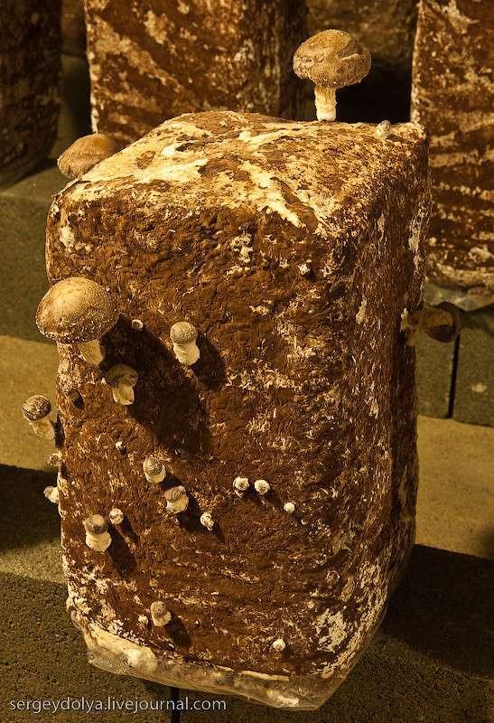 Как во Франции выращивают грибы