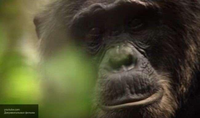 Ученые: между человеком и шимпанзе найдено ещё одно удивительное сходство...