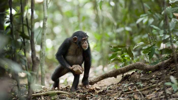 Шимпанзе оказались способны накапливать культурные достижения