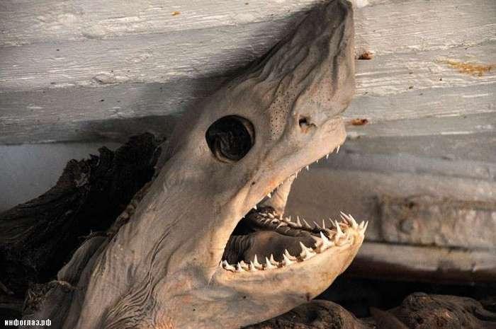 Где едят гнилое мясо акулы