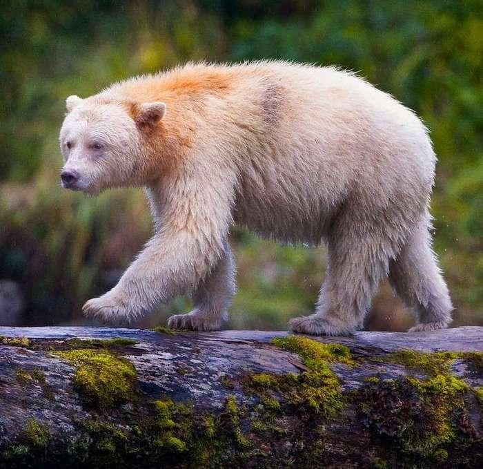 Этот медведь не белый, а черный!
