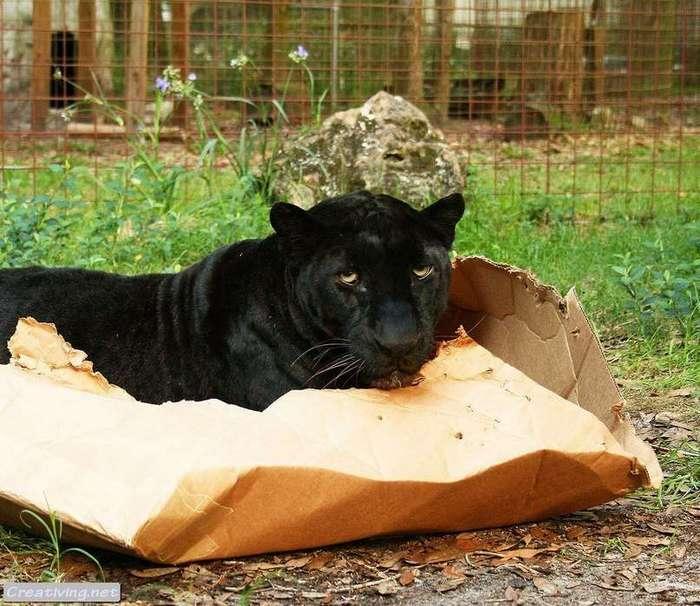 Большие коты тоже любят коробки.