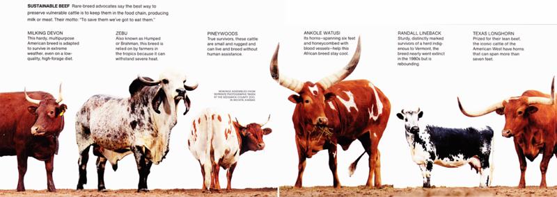Самый рогатый бык в мире