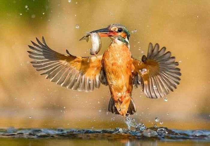 Идеальные снимки ныряющего зимородка