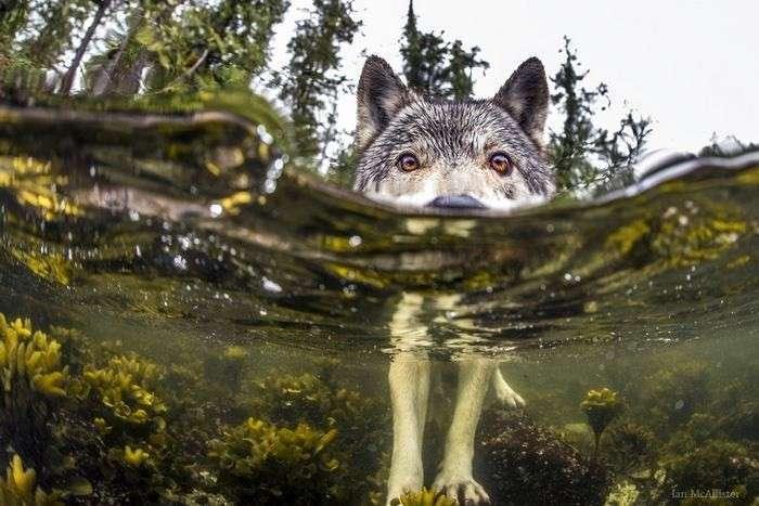 Эти редкие морские волки живут возле океана и могут часами плавать