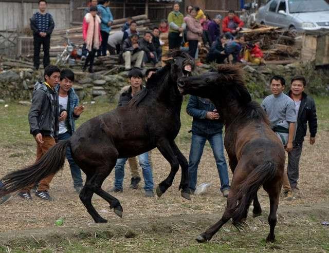 Лошадиные бои