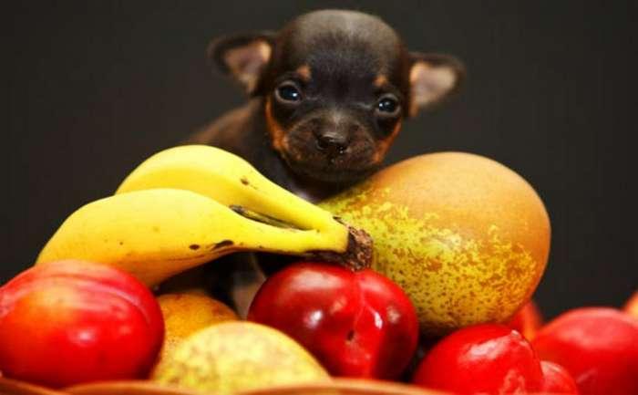 Какие фрукты можно и нельзя давать собакам