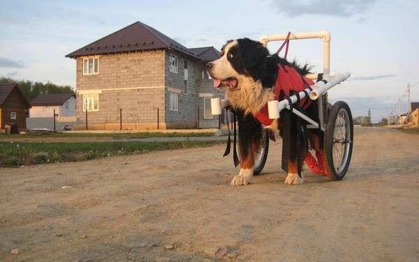 Екатеринбуржец смастерил инвалидную коляску своему большому псу, у которого парализовало задние лапы