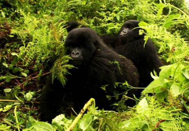В Британии три гориллы-подростка разгромили зоопарк