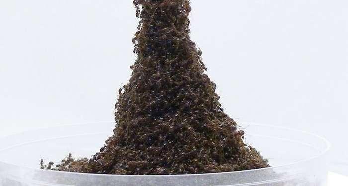 Зачем муравьи строят башни из муравьев?