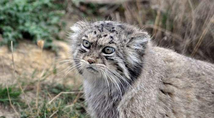 Редкие дикие коты, о которых мало кто слышал