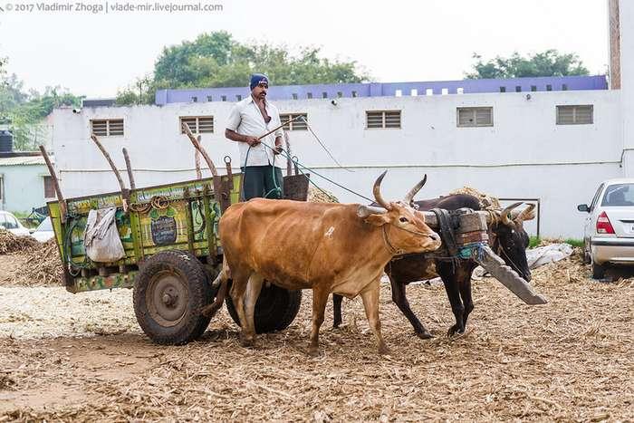 Почему корова священна в Индии?