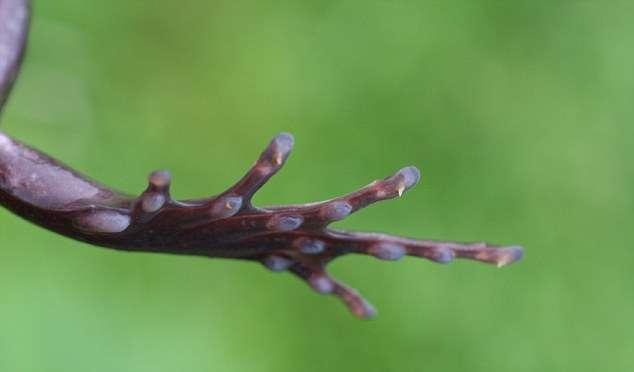Волосатая лягушка может сломать себе кости лап