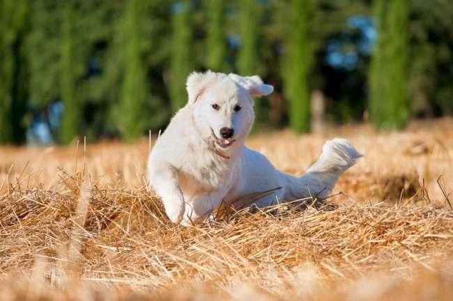 Овчарка — белый медведь