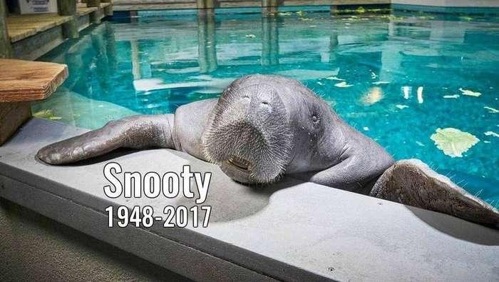 Самый старый в мире 69-летний ламантин погиб во Флориде